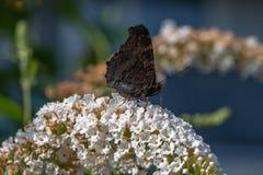 Aglais io, europeisk påfågelfjäril på blomman arkivbilder