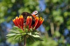Aglais io Europejski paw, pawiego motyla obsiadanie na cynia bicolor kwiacie Obraz Stock