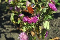 Aglais io Europejski paw, pawiego motyla obsiadanie na różowej asteru Michaelmas stokrotce Obrazy Stock