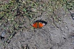 Aglais io Europejski paw, pawiego motyla obsiadanie na ziemi Zdjęcie Royalty Free