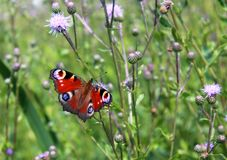 Aglais io Europejski pawi motyl i przyroda, - zwierzęta, piękni insekty Zdjęcia Stock