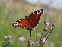 Aglais io Europejski pawi motyl i przyroda, - zwierzęta, piękni insekty Zdjęcia Royalty Free
