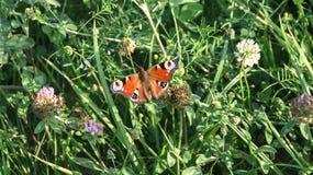 Aglais io Europejski pawi motyl na koniczynowym kwiacie, Obrazy Stock