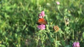 Aglais io Europejski pawi motyl na koniczynowym kwiacie, Fotografia Stock