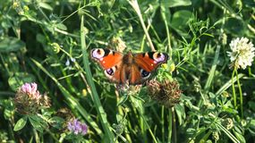 Aglais io Europejski pawi motyl na koniczynowym kwiacie, Obrazy Royalty Free