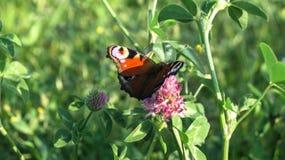Aglais io Europejski pawi motyl na koniczynowym kwiacie, Zdjęcie Stock