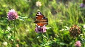 Aglais io Europejski pawi motyl na koniczynowym kwiacie, Zdjęcie Royalty Free