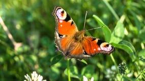 Aglais io Europejski pawi motyl na koniczynowym kwiacie, Obraz Royalty Free