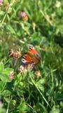 Aglais io Europejski pawi motyl na koniczynowym kwiacie, Zdjęcia Stock