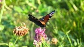 Aglais io Europejski pawi motyl na koniczynowym kwiacie, Zdjęcia Royalty Free