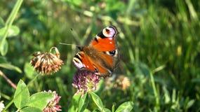 Aglais io, la farfalla di pavone europea, sul fiore del trifoglio Immagine Stock