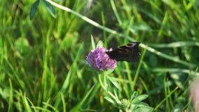 Aglais io, la mariposa de pavo real europea, en la flor del trébol almacen de video