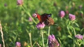 Aglais io, la mariposa de pavo real europea, en la flor del trébol metrajes