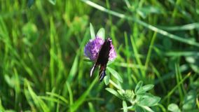 Aglais io, la mariposa de pavo real europea, en la flor del trébol almacen de metraje de vídeo
