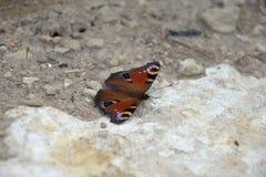 Aglais io, motyl Inachis io obsiadanie na kamieniu z otwartymi skrzydłami Obrazy Royalty Free