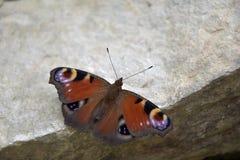 Aglais io, motyl Inachis io obsiadanie na kamieniu z otwartymi skrzydłami Fotografia Royalty Free