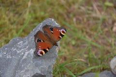 Aglais io, motyl Inachis io obsiadanie na kamieniu z otwartymi skrzydłami Zdjęcia Royalty Free