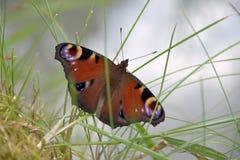 Aglais io, motyl Inachis io obsiadanie na trawie z otwartymi skrzydłami Fotografia Stock