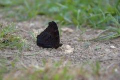 Aglais io, motyl Inachis io obsiadanie na ziemi z zamkniętymi skrzydłami Fotografia Royalty Free