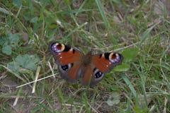 Aglais io, motyl Inachis io siedzi na ziemi z otwartymi skrzydłami Zdjęcia Stock