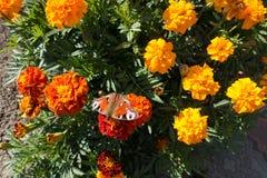 Aglais io motyl na francuskich nagietkach Zdjęcia Royalty Free