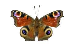 Aglais io motyl odizolowywający Obraz Stock
