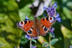 Aglais io motyli obsiadanie na kwiacie Obraz Royalty Free