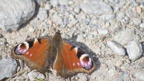 Aglais io pawi motyl wyszczególniający blisko niektóre skał Zdjęcie Royalty Free