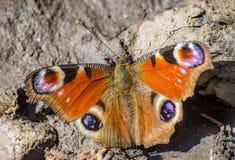 Aglais io pawiego motyla pospolity europejski insekt Zdjęcia Royalty Free
