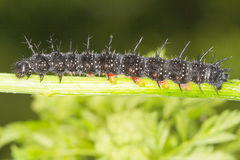 Aglais io - Peacock butterfly caterpillar Stock Images