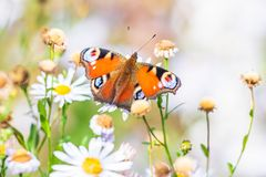 Free Aglais Io, Peacock Butterfly Pollinating Stock Images - 159640264