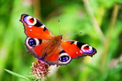 Aglais io/Peacock motyl Fotografia Royalty Free