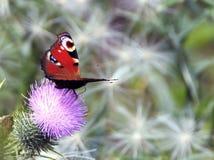 Aglais io Vlinder Royalty-vrije Stock Afbeeldingen