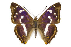 Aglais iris Stock Image