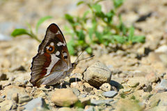 Aglais iris (Purple Emperor) butterfly Stock Images