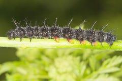 aglais motyli gąsienicy io paw Obrazy Stock