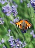 aglais motyli mali tortoiseshell urticae Obrazy Stock
