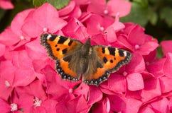 aglais motyli mali tortoiseshell urticae Obrazy Royalty Free