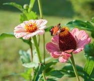 aglais motyliego kwiatu mennicy s urticae Zdjęcia Royalty Free