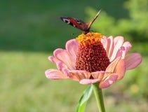 aglais motyliego kwiatu mennicy s urticae Obrazy Royalty Free