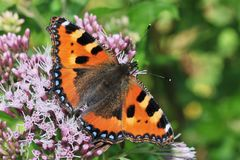 Aglais urticae Royalty Free Stock Photography