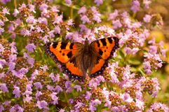 Aglais urticae butterfly. On flowers Royalty Free Stock Images