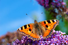 Aglais urticae butterfly Stock Image