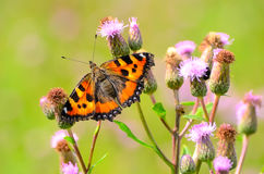 Aglais urticae butterfly. On Cirsium arvense flowers Royalty Free Stock Photos