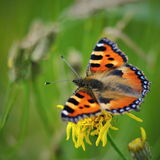 Aglais urticae butterfly closeup. Wildlife of middle Europe meadows, lakes and forests Stock Image