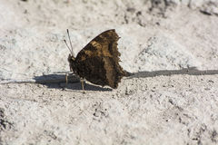 Aglais urticae Royalty Free Stock Images