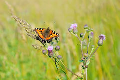 Aglais urticae butterfly. On  flowers Stock Photography