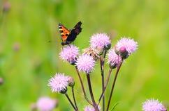 Aglais urticae butterfly on flowers. Aglais urticae butterfly on Cirsium arvense flowers Royalty Free Stock Photos