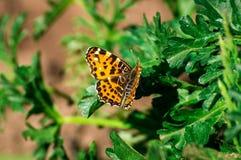 Aglais urticae. Butterfly Aglais urticae on fresh foliage Royalty Free Stock Photos