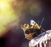 Aglais urticae butterfly sit stand wings. A typical specie in Denmark called Aglais urticae Royalty Free Stock Image